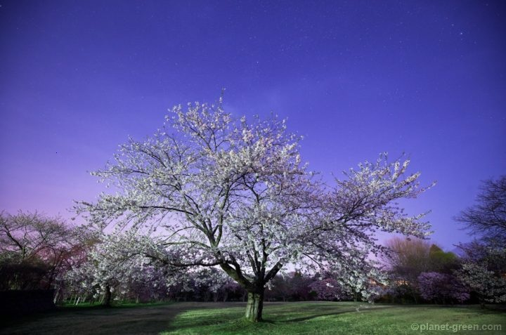 北海道森町・オニウシ公園の夜桜と星
