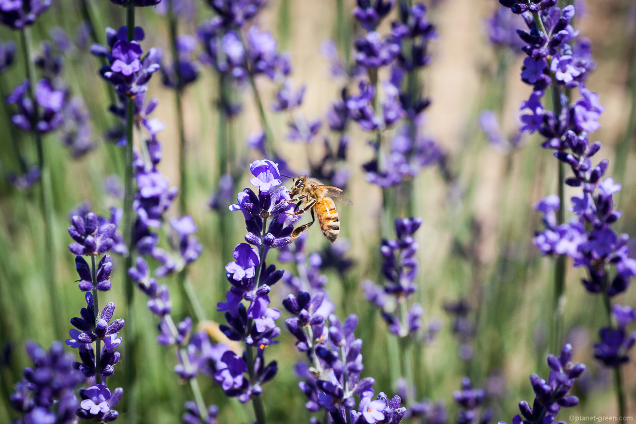 幌見峠のラベンダーと蜂