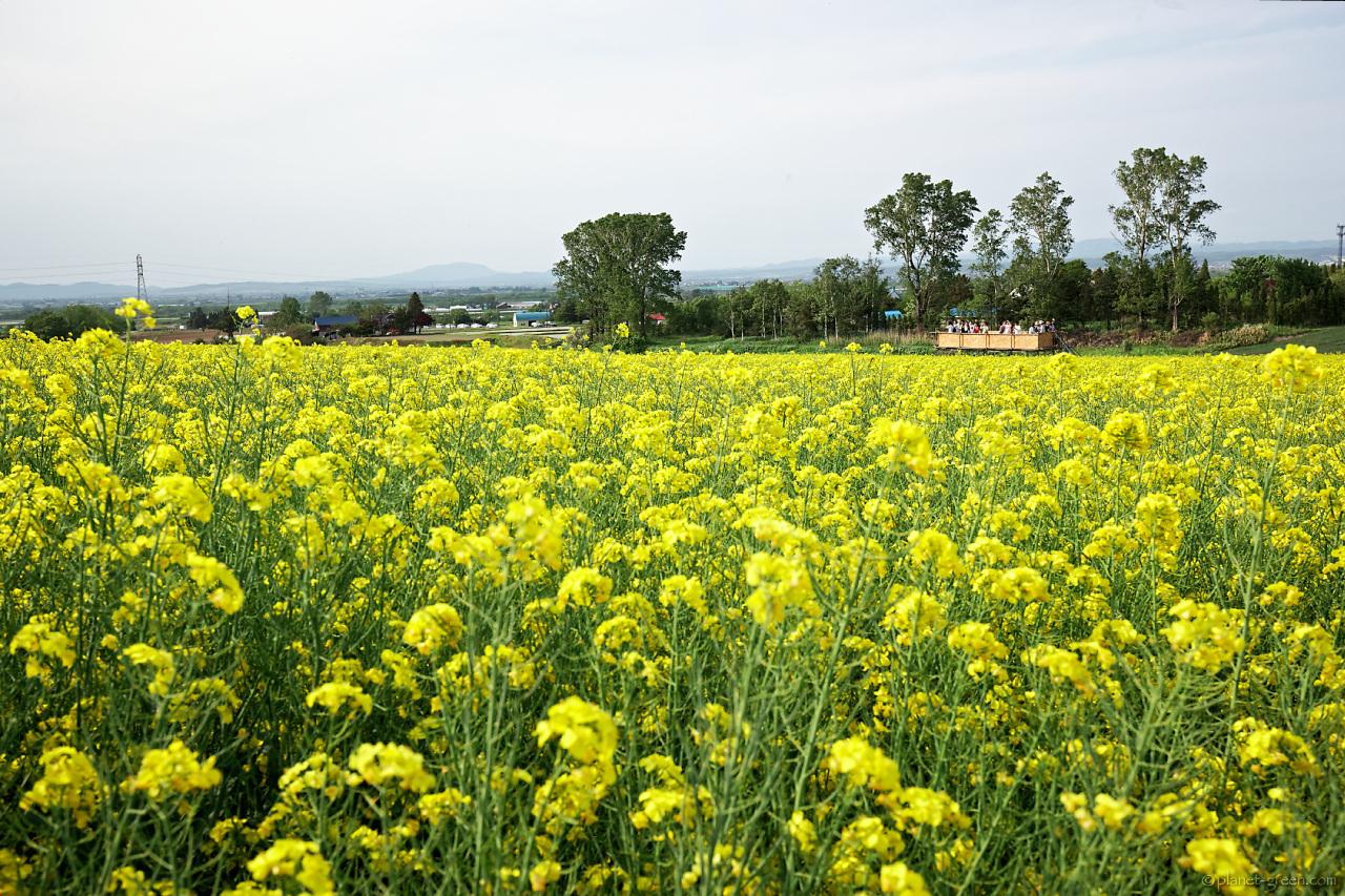 滝川 菜の花まつり