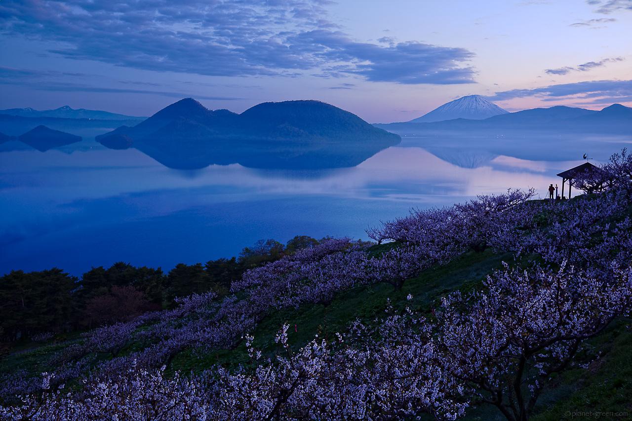 洞爺湖の梅