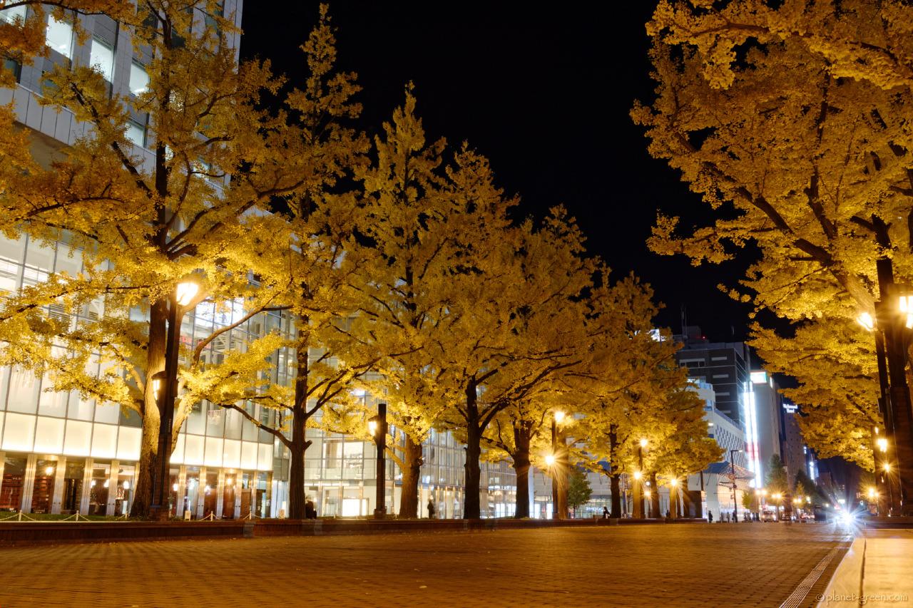 札幌市・北3条広場の銀杏並木