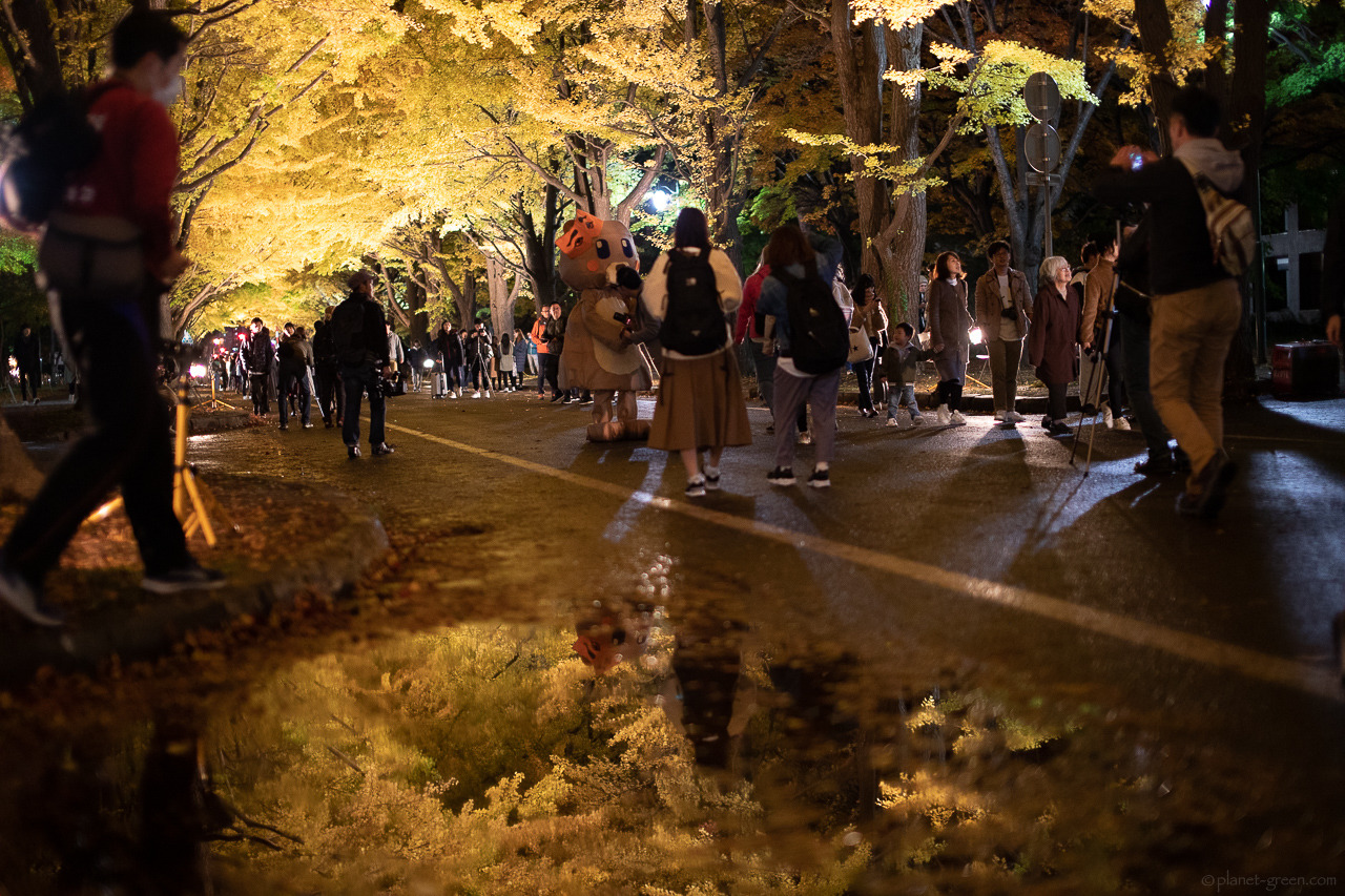 北大銀杏並木 / 北大金葉祭 2018 / ライトアップ